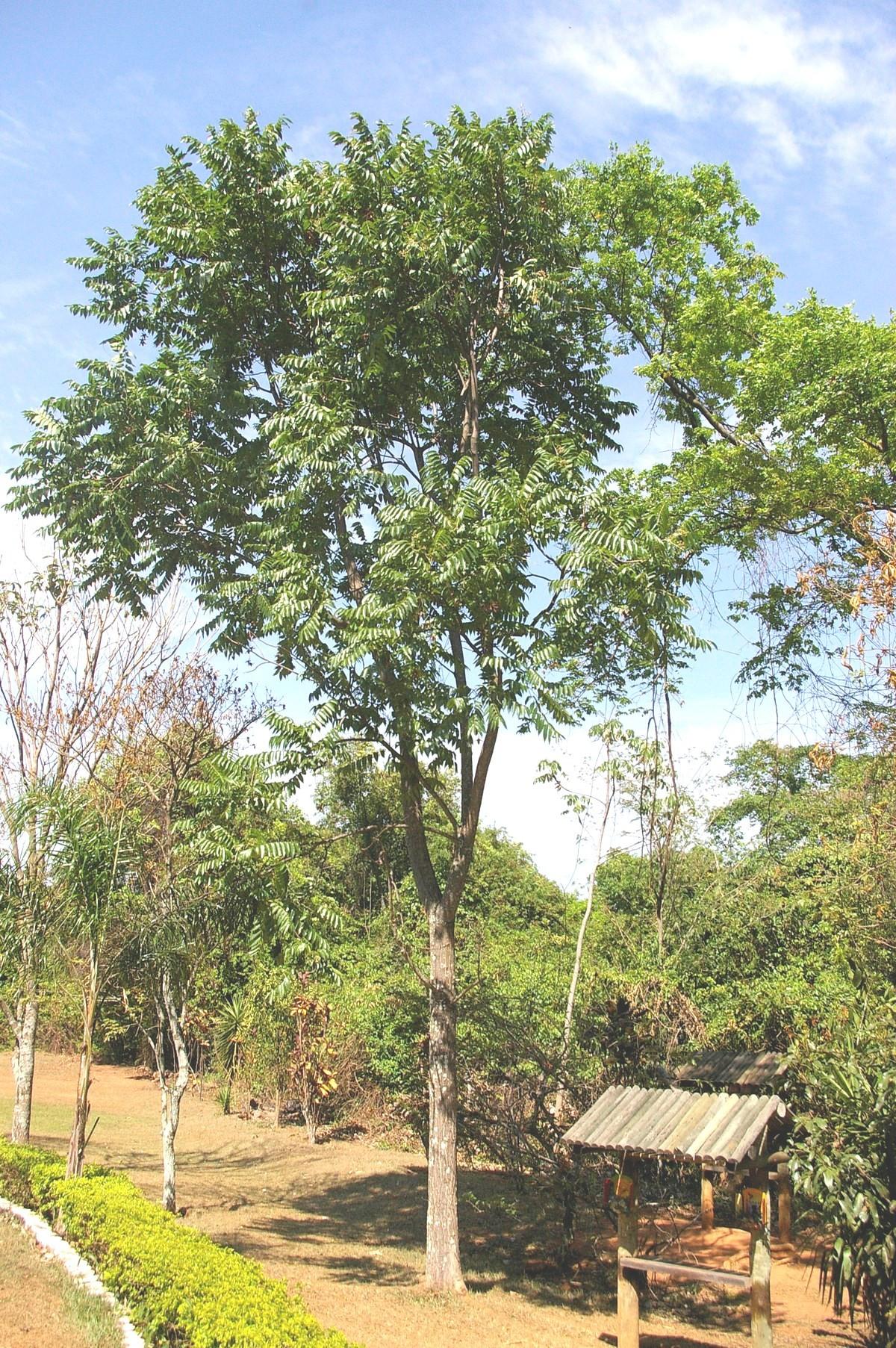 Cedrela odorata L. | Árvores do Bioma Cerrado